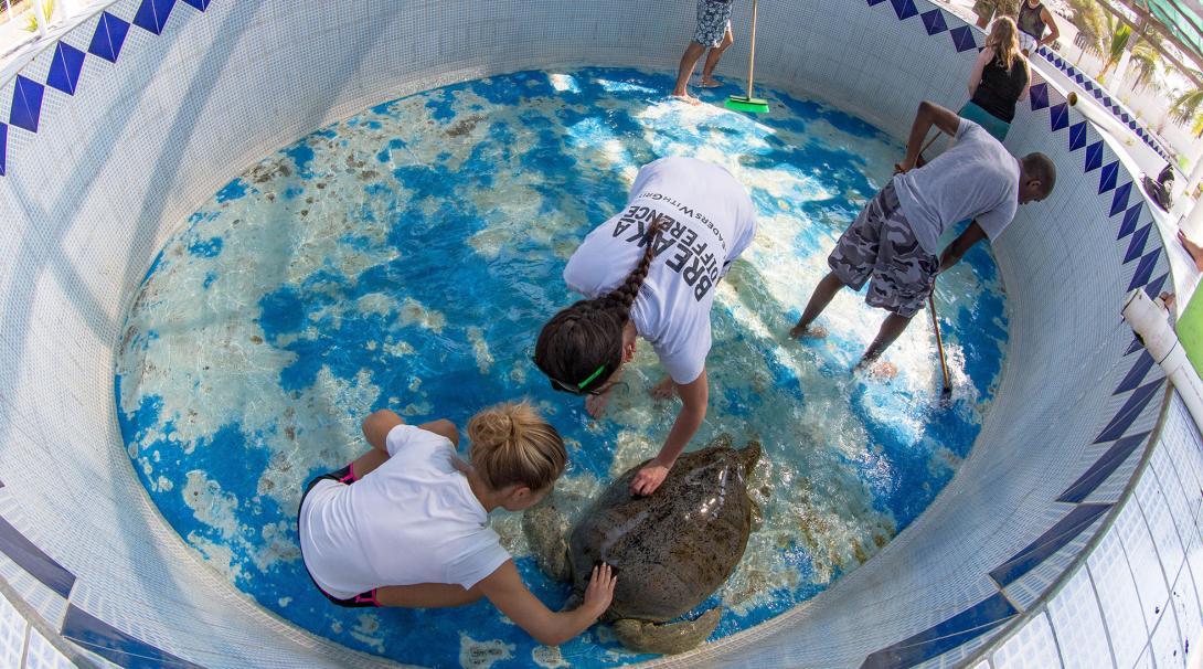 Projects Abroad naturskyddsvolontärer i Mexiko rengör en sköldpadda och städar en sköldpaddstank tillsammans.